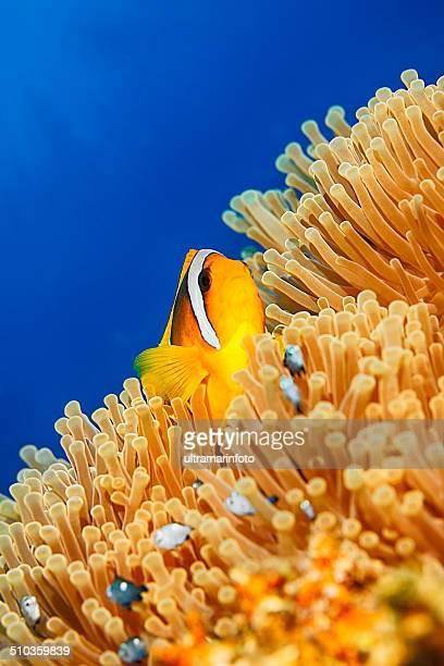 Sea life - Anemone  clownfish