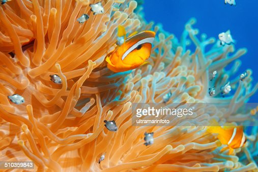 Sea life - Anemone  clownfish