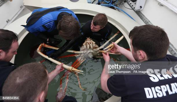Sea Life Senior Curator Chris Brown and four other staff members prepare to move a Japanese Spider crab named Big Daddy as it settles in to its new...