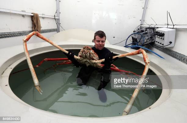 Sea Life Senior Curator Chris Brown prepares to move Japanese Spider crab named Big Daddy as it settles in to its new home at Blackpool's Sea Life...