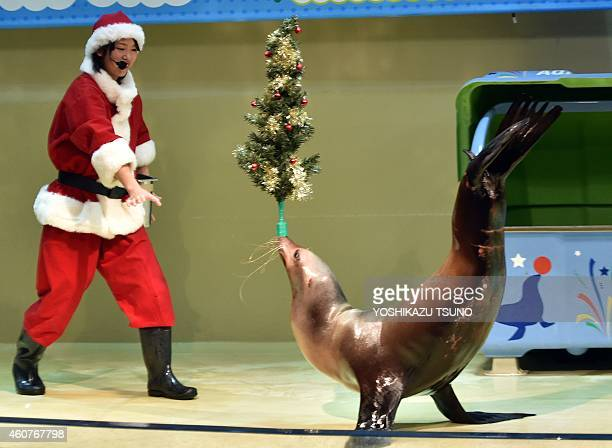A sea lion balances a Christmas tree on his nose while a trainer in a Santa Claus costume smiles during a show at the Aqua Stadium aquarium in Tokyo...