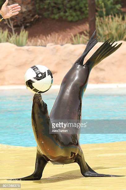 Sea lion balancing a ball
