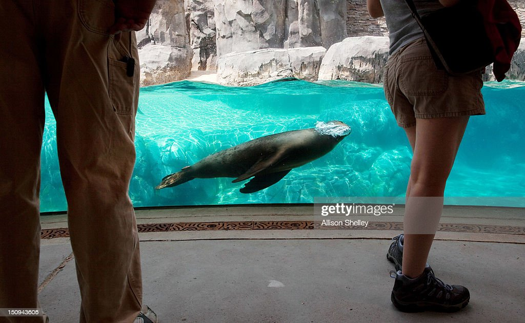 A sea lion blows bubbles as it swims by a viewing area during a sneak peak of the new American Trail at the Smithsonian National Zoo August 29, 2012 in Washington, D.C. The 300,000 gallon sea lion pool, designed in the style of a rocky California beach, is complete with a wave machine and is the new home to four female California sea lions: Summer, Sidney, Calli and Sophie. The trail, featuring animals and horticulture native to the Americas, opens to the public on September 1.