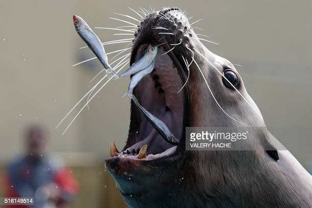 TOPSHOT A sea lion eats sardines in the Marineland theme park on the French riviera city of Antibes southeastern France on March 17 2016 / AFP /...