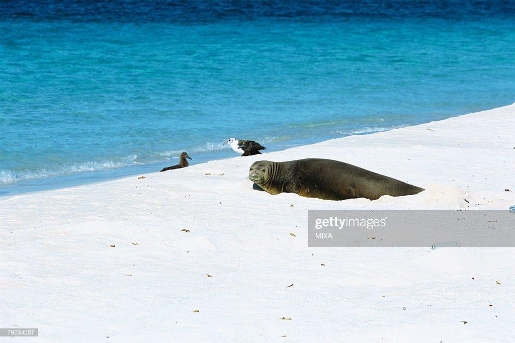 Sea Lion, Hawaiian Monk Seal, Midway, Hawaii : Stock Photo