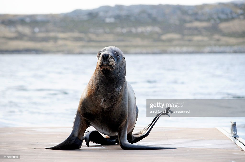 Sea lion hurrying along the jetty, Stanley / Falkland Islands : Stock Photo