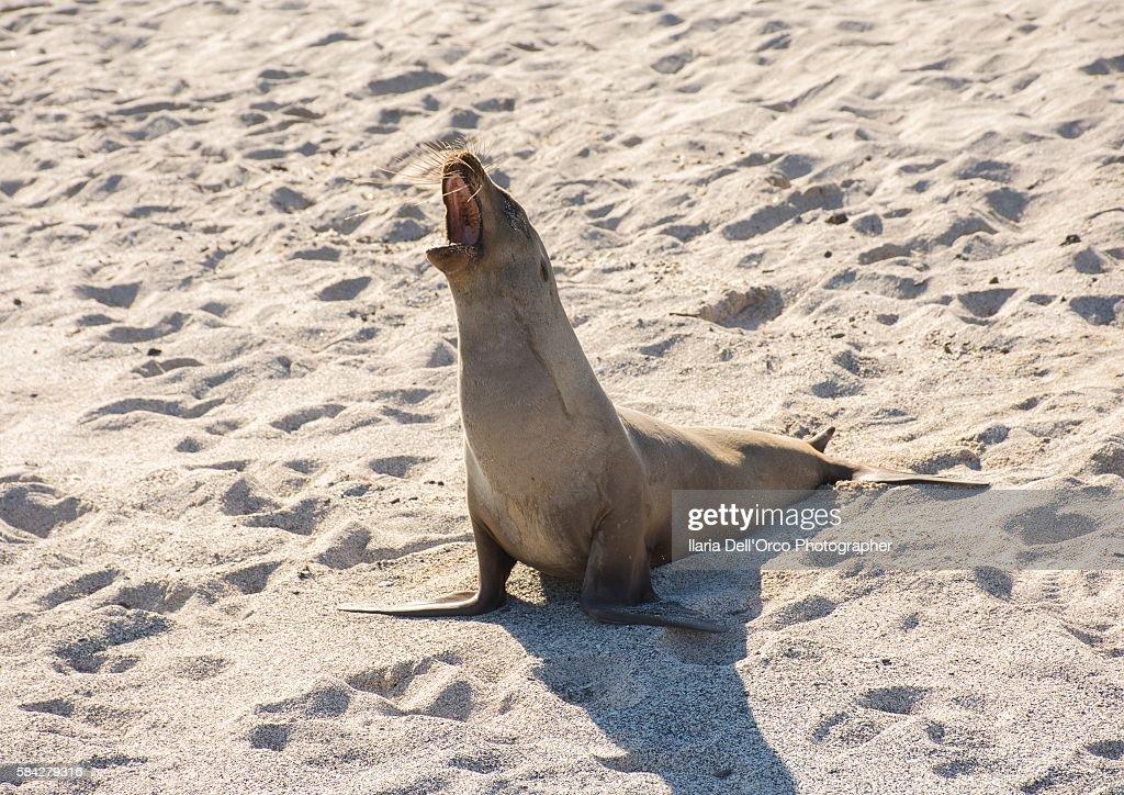 A sea lion in Playa Mann, San Cristobal Isle, Galapagos
