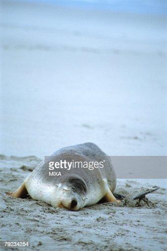 A sea lion lying at beach, Australia : Stock Photo