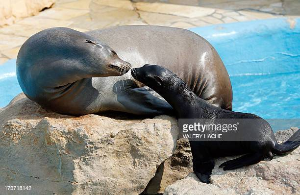 A sea lion new born and its mother are seen at the animal park exhibition Marineland on July 17 2013 in Nice southeastern France The sea lion baby...
