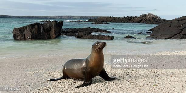 Sea Lion (Otariidae) On The Sand