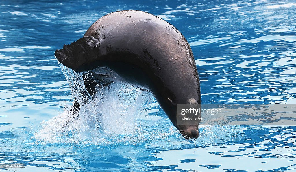 Sea lion Osborne jumps from the water during a press preview before the re-opening of the Wildlife Conservation Society New York Aquarium in Coney Island on May 24, 2013 in the Brooklyn borough of New York City. The aquarium was heavily damaged by Hurricane Sandy and will finally reopen tomorrow on the same day the city beaches re-open to the public. Osborne is one of many Hurricane Sandy survivors, more than 90 percent of the aquarium's sea life survived the storm.