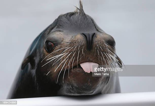 Sea lion Osborne looks toward the crowd during a press preview before the reopening of the Wildlife Conservation Society New York Aquarium in Coney...