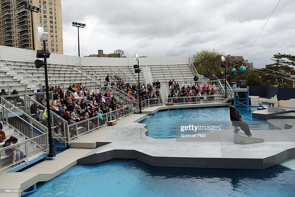 A sea lion performs on the first day of the re-opening to the public of the Wildlife Conservation Society New York Aquarium in Coney Island on May 25, 2013 in the Brooklyn borough of New York City. The aquarium was heavily damaged by Hurricane Sandy and reopens a day after city beaches re-open to the public. More than 90 percent of the aquarium's sea life survived the storm.