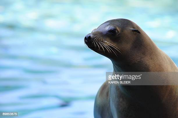 A Sea Lion reacts to people around its pool at the Smithsonian's National Zoo in Washington DC on August 18 2009 AFP PHOTO/Karen BLEIER