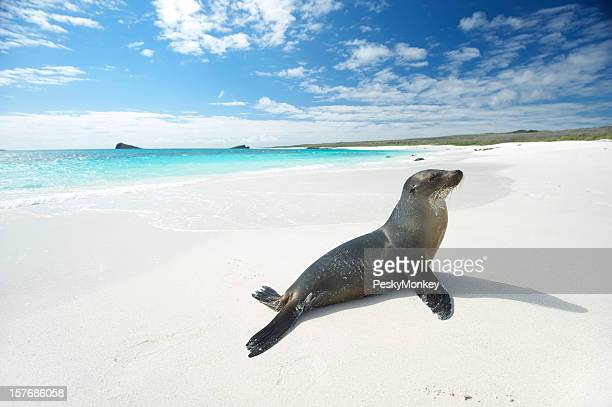 Sea Lion Suns Himself on Bright White Beach