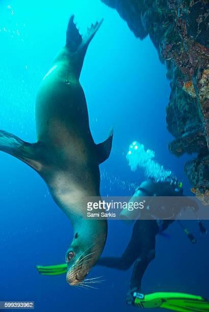 Sea lion (Zalophus californianus) swimming by a scuba diver, Ecuador, Galapagos archipelago, Wolf Island, Pacific Ocean