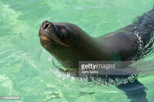 A sea lion swimming in the ocean : Bildbanksbilder