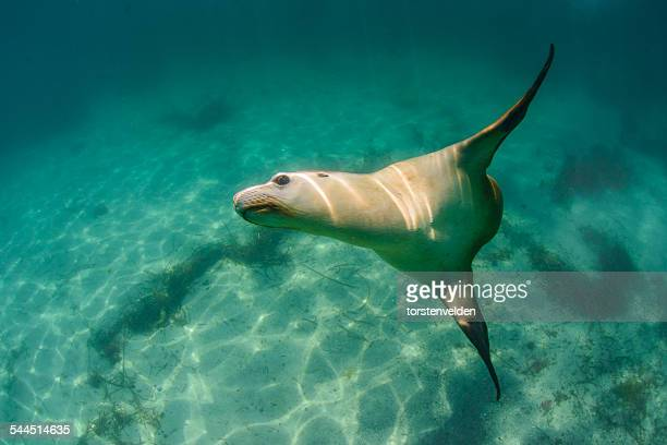 Australia, Hopkins Island, Eyre Peninsula, Underwater view of swimming sea lion