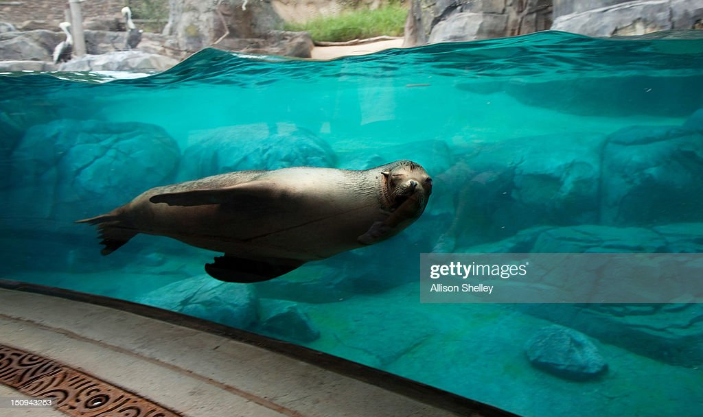 A sea lion swims by a viewing area during a sneak peak of the new American Trail at the Smithsonian National Zoo August 29, 2012 in Washington, D.C. The 300,000 gallon sea lion pool, designed in the style of a rocky California beach, is complete with a wave machine and is the new home to four female California sea lions: Summer, Sidney, Calli and Sophie. The trail, featuring animals and horticulture native to the Americas, opens to the public on September 1.