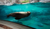 A sea lion swims by a viewing area during a sneak peak of the new American Trail at the Smithsonian National Zoo August 29 2012 in Washington DC The...