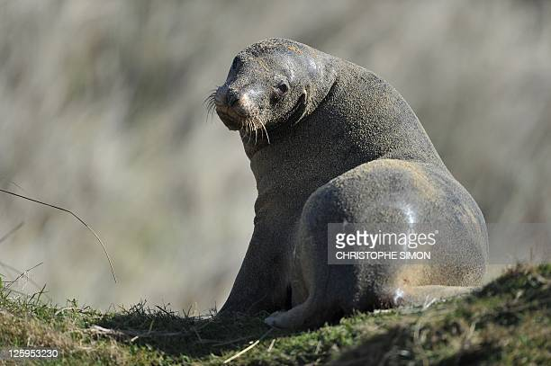A sea lion takes a rest on a beach in the Catlins on September 18 2011 AFP PHOTO / CHRISTOPHE SIMON
