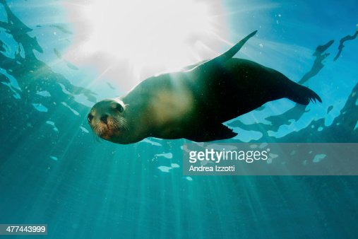 sea lion underwater looking at you : Stock Photo