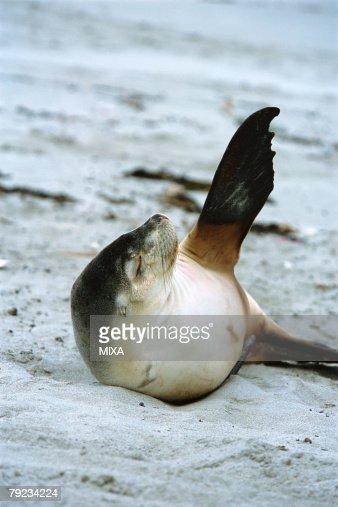 Sea lion waving fin at beach : Stock Photo