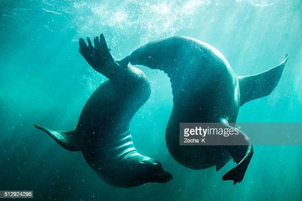 シーライオン courtship 水中バレエます。