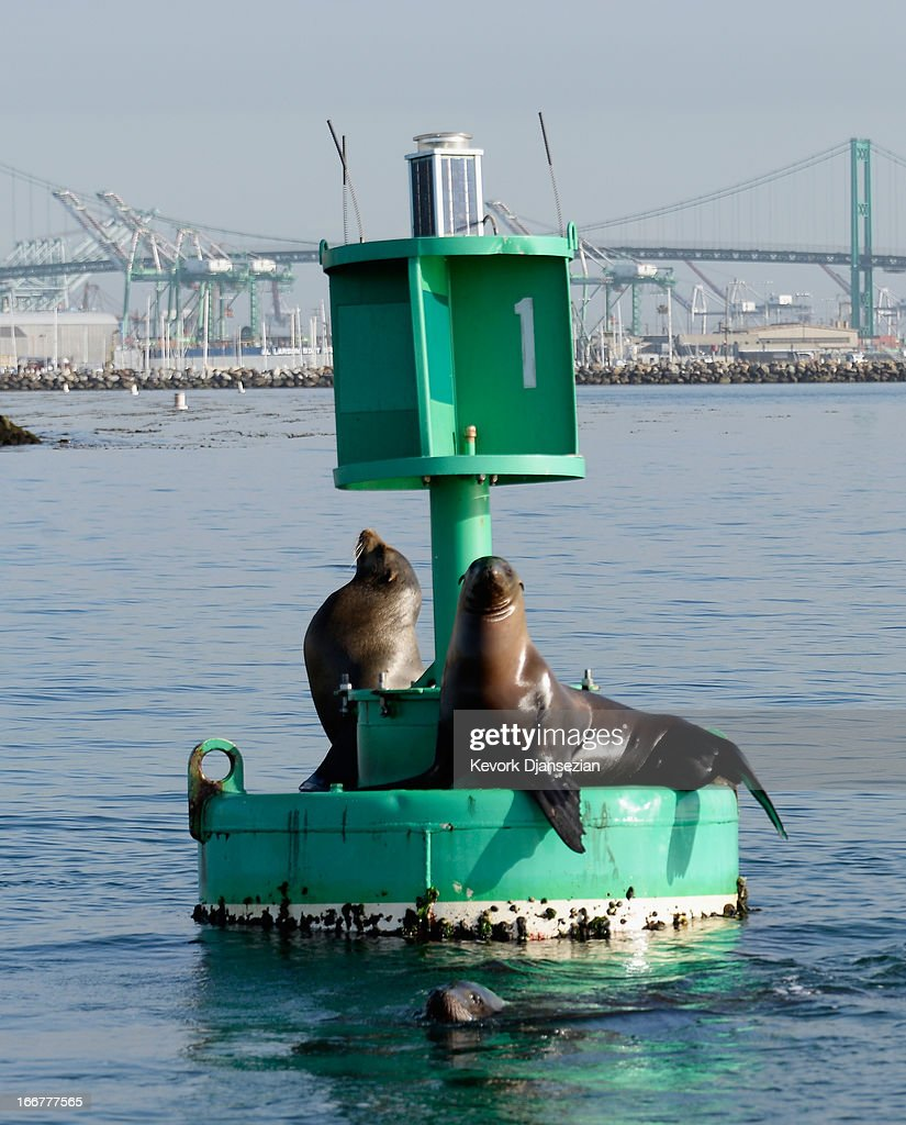 Sea Lions hang out on a channel marker buoy in the main chanel of the Port of Los Angeles on April 16 2013 in San Pedro California The Port of Los...