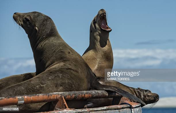 Sea Lions rest on a buoy at the Ojo de Liebre Lagoon Baja California Sur state Mexico on March 3 2015 AFP PHOTO/OMAR TORRES