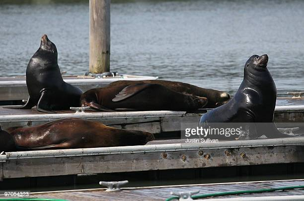 Sea Lions sunbathe on a dock at Pier 39 February 25 2010 in San Francisco California Sea Lions are slowly returning to the docks of Pier 39 after...