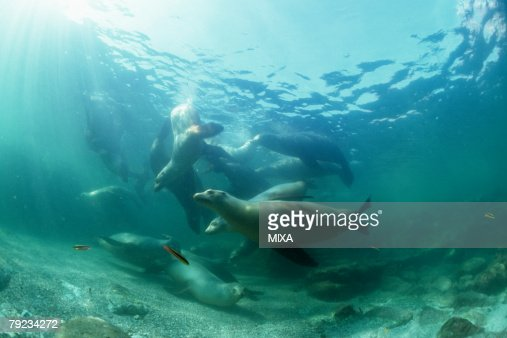 Sea lions underwater : Stock Photo