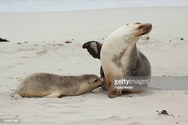 Sea Lions,Kangaroo Island