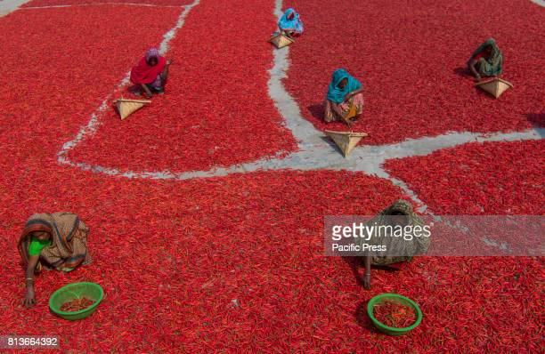 A sea of red chili peppers surround laborers in the Bogra district in the north of Bangladesh Bangladesh is known for their Chili peppers as a major...