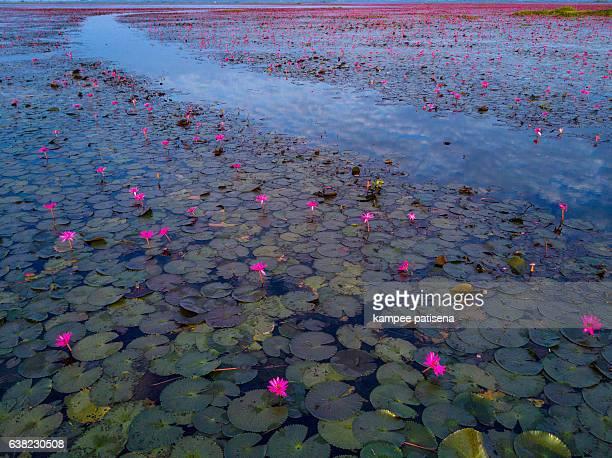 sea of red lotus lake, Udonthai, Thailand