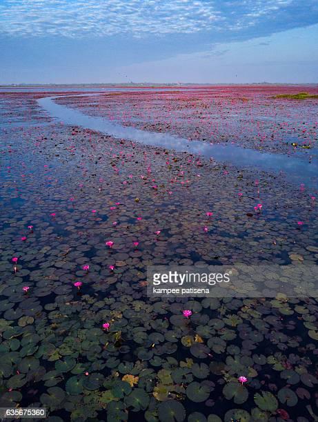 sea of red lotus, Thailand