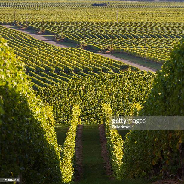 Sea of Vine Rows