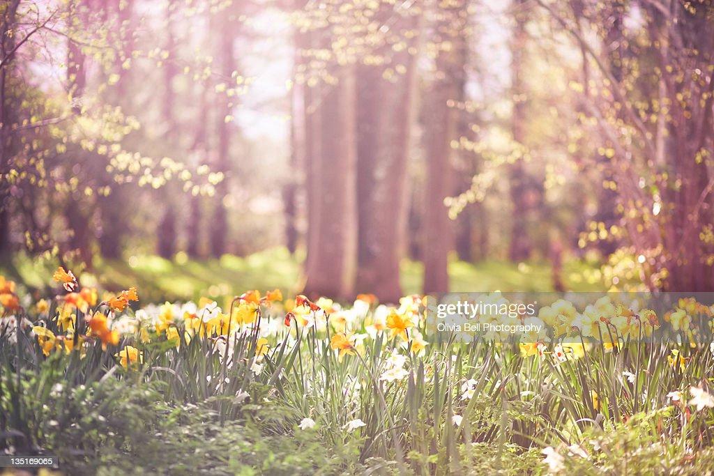 Sea of yellow and orange daffodils : Stock Photo