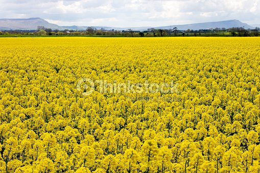 Sea of yellow rapeseed flowers in northern ireland stock photo sea of yellow rapeseed flowers in northern ireland stock photo mightylinksfo