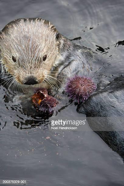 Sea otter (Enhydra lutris) eating sea urchin, captive
