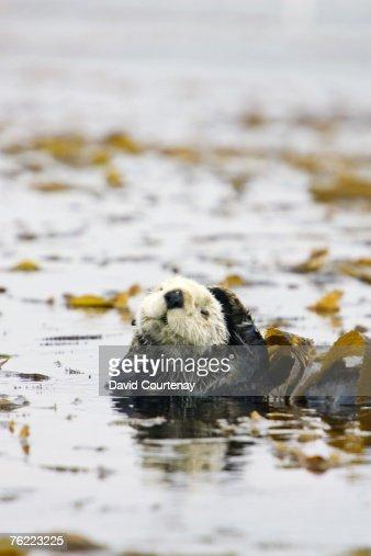 Sea Otter, Enhydra lutris, in kelp bed, Monterey Bay, California, USA
