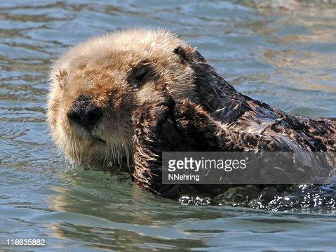 sea otter, Enhydra lutris