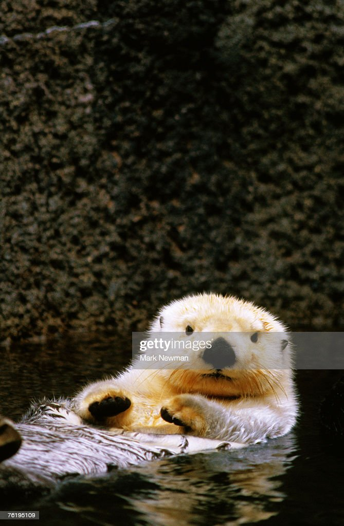 Sea otter (Enhydra lutris) floating on its back, Point Defiance Zoo, Tacoma, Washington, United States of America, North America : Stock Photo