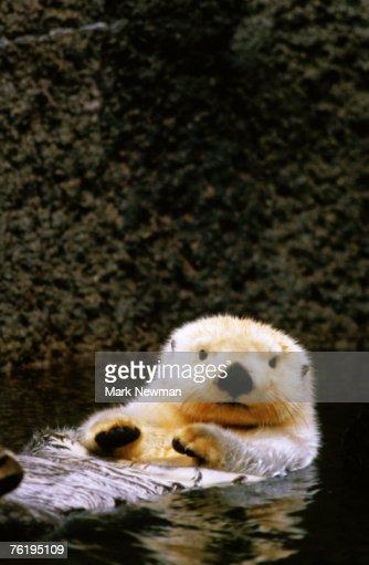 Sea otter (Enhydra lutris) floating on its back, Point Defiance Zoo, Tacoma, Washington, United States of America, North America : Stock Photo