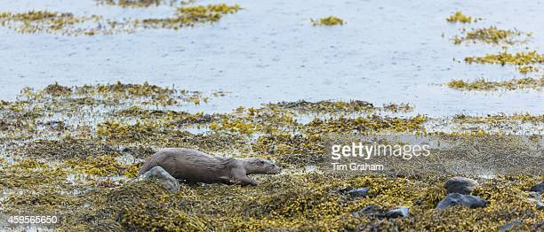 Sea Otter Lutra lutra carnivorous semiaquatic mammal hunting for food at side of loch on Isle of Mull in the Inner Hebrides and Western Isles West...