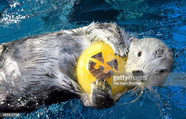 Sea otter 'Pata' swims with a jacko'lantern shaped ice ahead of Halloween at Osaka Aquarium Kaiyukan on October 19 2015 in Osaka Japan