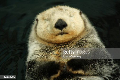 Sea otter : Stock Photo
