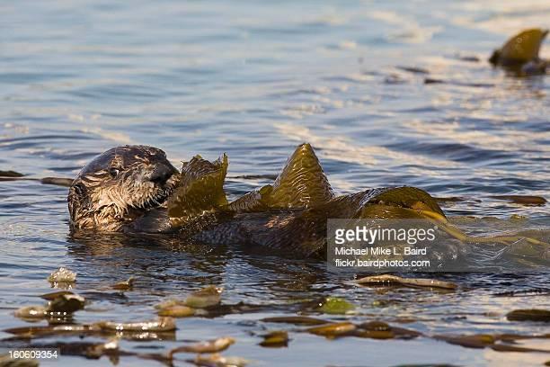 Sea Otter (Enhydra lutris) Pup in Kelp