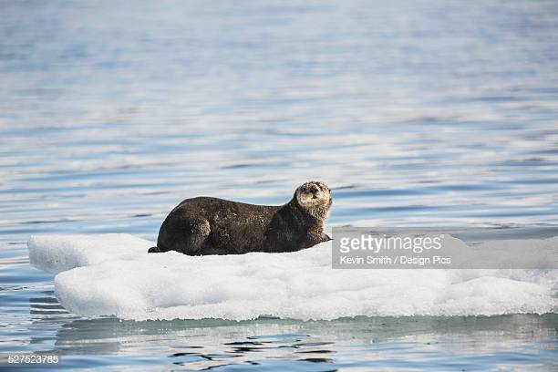 A Sea Otter (Enhydra lutris) resting on a calved piece of glacier ice floating in Barry Arm in springtime, Chugach National Forest