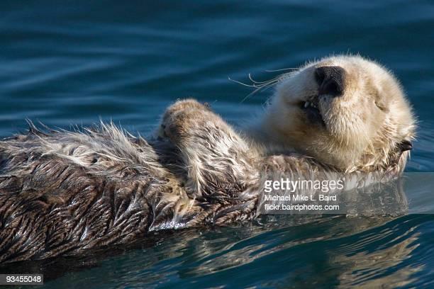 Sea Otter (Enhydra lutris) Sleeping